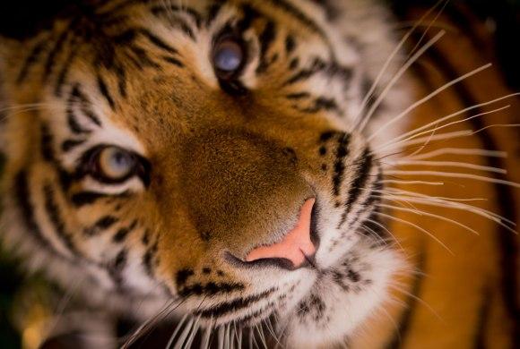 tiger-pexels-low-res